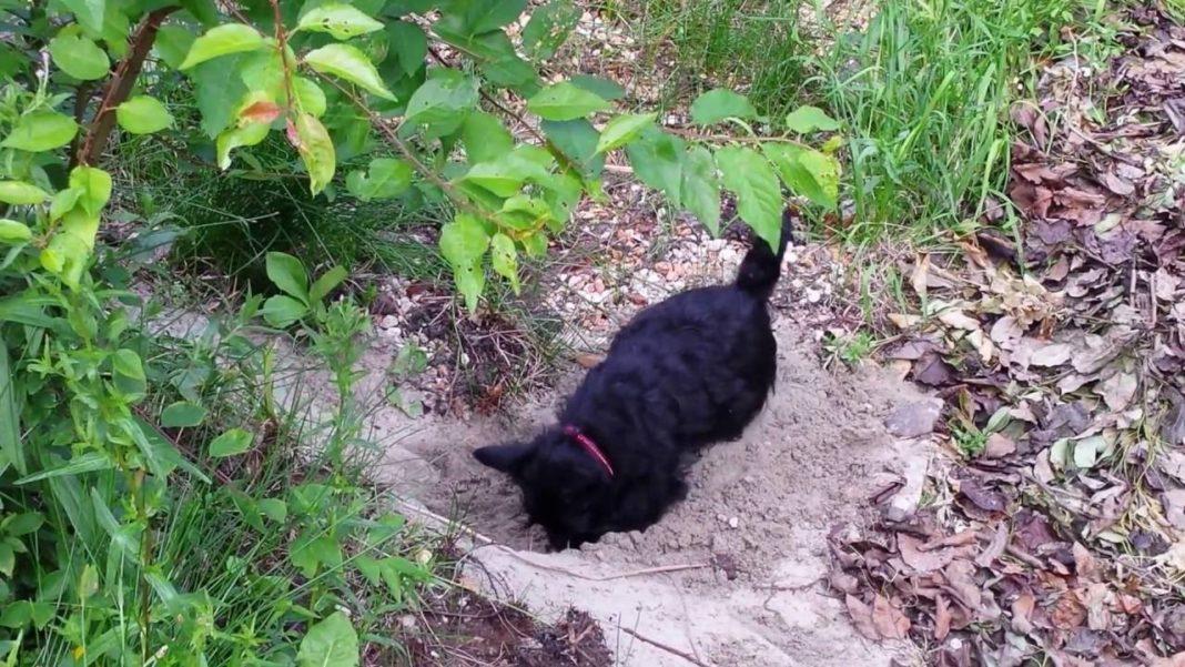 Scottish Terrier du Bois Colin en train de creuser